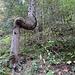 aussergewöhnlicher Baumwuchs