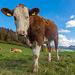 Neugierig und zutraulich, die Kühe von Breithöchi