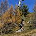 alte Bäume an der Waldgrenze