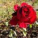 aber die Rosen am Rebberg blühen noch