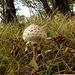 ein weiterer Pilz: einzelne Schirmlinge sind essbar, andere giftig