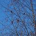 Ein Baum voller Buchfinken