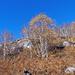 Herbstlich farbige Birken