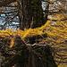 goldene Lärchen im Abstieg