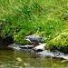 Pescarelul negru ( Cinclus Cinclus ) sau Mierla de apa