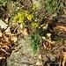 Solidago virgaurea L. s.str.<br />Asteraceae<br /><br />Verga d'oro comune.<br />Solidage verge d'or.<br />Gewöhnliche Goldrute.