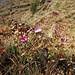 Dianthus carthusianorum L.<br />Caryophillaceae<br /><br />Garofano dei Certosini.<br />Oillet des Chartreux.<br />Gewöhnliche Kartäuser-Nelke.<br />