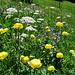 Blumenwiesen.