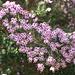 Heideblüte im Detail