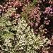 Weisse und lila Heide