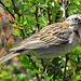 Zonotrichia capensis - Eine Morgenammer. Dieser wunderschöne, kleine Vogel ist in Patagonien oft anzutreffen und kann gut beobachtet werden.