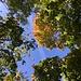 Blick durchs Blätterdach hoch ...