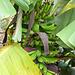 Bananenstauden säumen den Weg