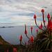 Bald sind wir am Gipfel, rote Aloe Vera Blüten