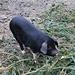 Schweinerei: Frisst seine Weihnachtsdeko einfach auf!