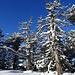 Bäume und Baumskelette am Grat