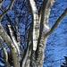 Vereister Windschnee an den Bäumen