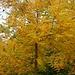 Schwarznussbaum (Juglans nigra)