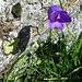 Eine Glockenblume sonnt sich unter dem E Vorgipfel