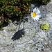 Alpen-Wucherblume unter dem E-Grat