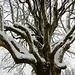 Detail das immensen Baumes ...