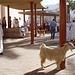 Ziegenmarkt in Nizwa