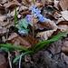 Erste Frühlingsblumen im Wald: Zweiblättriger Blaustern (Scilla bifolia).