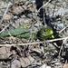 In den Bruchsteinmauern der Weinberge sonnt sich eine Smaragdeidechse (Lacerta bilineata)