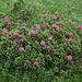 Alpenrosen (endlich wieder im Grünen!)