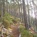 Forêt de pins et sous-bois de myrtilles .