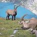 Junge Steinböcke (Capra ibex). Selbstsicher und unerschrocken begutachten sie die Wanderer. (Sie wissen wohl das sie geschützt sind). Link zum Wesen der Steinböcke> [http://de.wikipedia.org/wiki/Alpensteinbock Link zum Steinbock]
