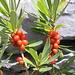Der hochgiftige Seidelbast (Daphne Mezereum). Angetroffen an seiner oberen Vorkommensgrenze auf ~2000m. Wirkstoffe: Mezerin & Daphnetoxin.