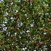 Stechpalmen mit Beeren