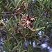 """Früchte der aus Australien stammenden Art """"Acaia cyclops"""", fotografiert in La Mareta. Interessant ist die Pflanze, weil die noch grünen Samen als natürliche Seife verwendet werden können."""