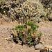 Cheirolophus teydis, eine endemische Pflanze der Cañadas. Sie gehört zur Familie der Korbblütler.