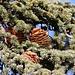 Zapfen der Atlas-Zeder (Cedrus atlantica) bei El Portillo.