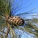 Zapfen der Kanarischen Kiefer (Pinus canariensis).