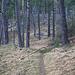 Aufstiegsweg zum Tannberg - auch hier Kiefern statt Tannen