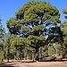 David im Vergleich zu einem alten Baum der hier endemischen Kanarischen Kiefer (Pinus canariensis). Ausser den Kiefern-Arten im Amerika wird diese Art am grössten und die Bäume können eine Hühe von 60m erreichen. Besonders an der Kanarischen Kiefer ist, dass die Bäume Waödbrände überstehen und nach der Feuerbrunst wieder austreiben. Der Baum ist angepflanzt in Gärten in Mitteleuropa nicht winterhart, auch wenn er kurzfristig bis -6°C aushält.