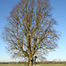 Schöner Baum, vielleicht der Namensgeber von Weihenlinden?