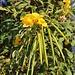 Blüten und Früchte der Gelben Trompetenblume (Tecoma stans) in La Mareta. Die Heimat der Gelben Trompetenblume reicht von Mexiko bis Peru. Heute wird der kleine Baum als Zierpflanze in den gesamten Tropen angepflanzt.