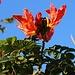 Blüten vom Afrikanische Tulpenbaum (Spathodea campanulata), fotografiert in Adeje. Er wächst natürlich zwischen dem 12. nördliche Breitengrad und dem 12. südliche Breitengrad entlang der Atlanktikküste von Ghana bis Angola, im feuchten Landesinneren ist er bis in den Südsudan und Uganda verbreitet. Ausserhalb Afrikas wird er in den Tropen oft wegen seinen schönen Blüten als Zierbaum angepflanzt.