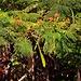 Flammenbaum (Delonix regia) in Adeje.  Der nicht frostharte Flammenbaum ist in kühleren, subtropischen Gebieten sommergrün und in tropischen Bereichen immergrün. Die natürliche Heimat ist Madegaskar, als Zierbaum wird er in den gesamten Tropen und Subtropen gepflanzt. Er verträgt keine Temperaturen unter +7°C, so dass er in Europa meist nicht draussen gepflanzt werden kann.