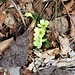Primula acaulis (L.) L.<br />Primulaceae<br /><br />Primula comune.<br />Primevère acaule.<br />Stängellose-Schlüsselblume.