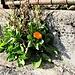 Calendula officinalis L.<br />Asteraceae<br /><br />Fiorrancio coltivato.<br />Souci des jardins.<br />Garten-Ringelblume.