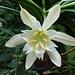 Eine herrlich duftende Lilienart