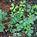 Die Erdnusspflanze wächst wie unsere niederen Erbsen