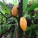 Kakao-Früchte