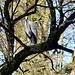 Graureiher im Baum