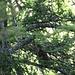 Wir trafen einen Trupp Haselhühner, gut getarnt hat sich eines in diesem Baum versteckt.
